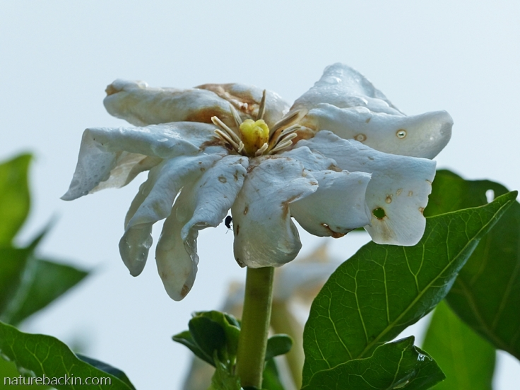 Aging flower of a Gardenia thunbergia, South Africa