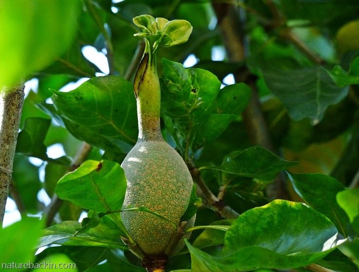 Fruit of a wild (forest) gardenia, Gardenia thunbergia, South Africa