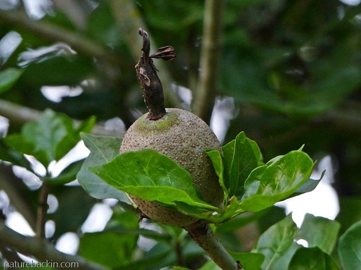 Maturing fruit of a wild gardenia (Gardenia thunbergia)