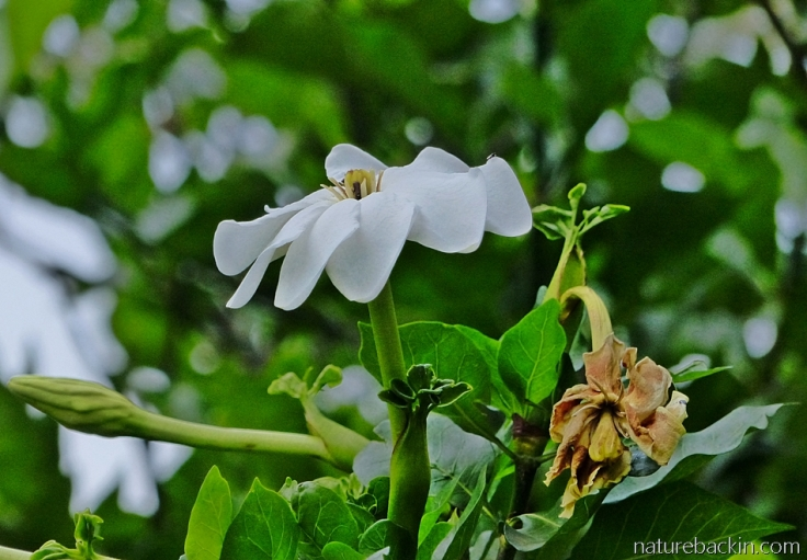 Flower and buds of the Gardenia thunbergia in a KwaZulu-Natal garden in South Africa