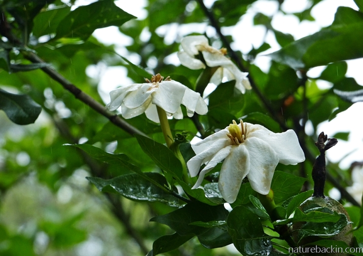 Rain on leaves and flowers of a Gardenia thunbergia (forest or wild gardenia), in a suburban garden in South Africa