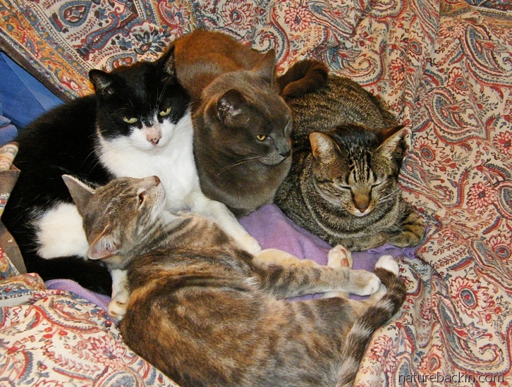 Four cats cuddled together