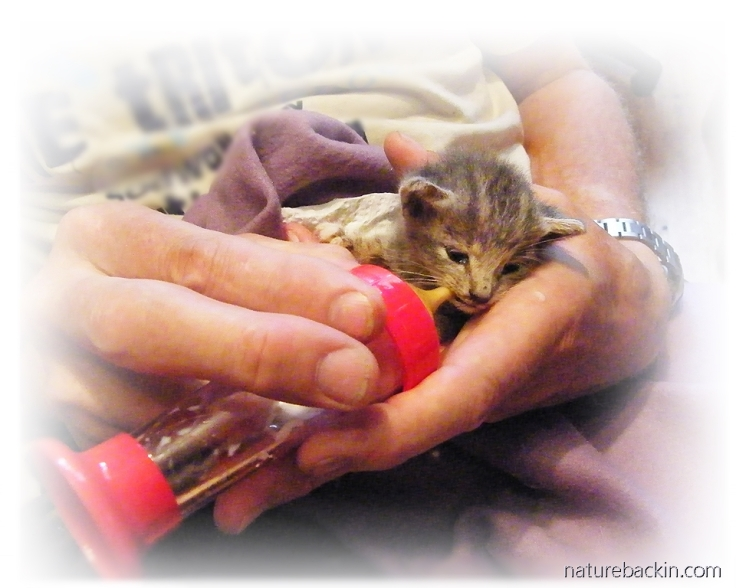 Bottle-feeding kitten