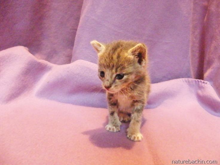 Kittten-hand-reared 4