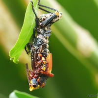 How the colourful koppie foam grasshopper sheds its skin