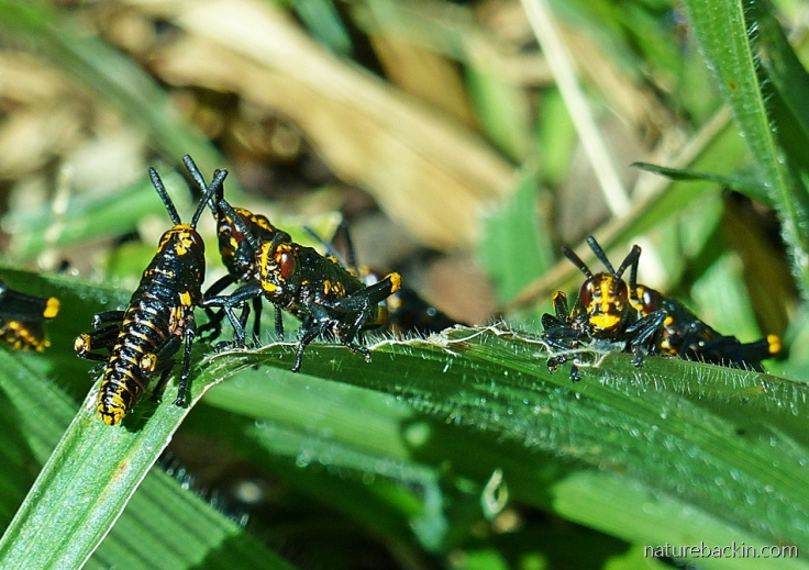 Koppie foam grasshopper nymphs eating leaf blades of the broad-leaved bristlegrass