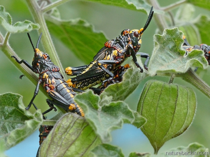 Koppie foam grasshopper nymphs on a Cape gooseberry plant