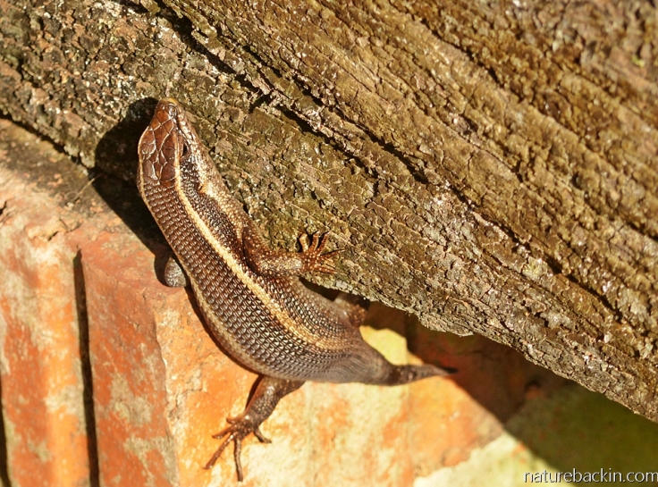A striped skink using its claws to climb on rough vertical surfaces
