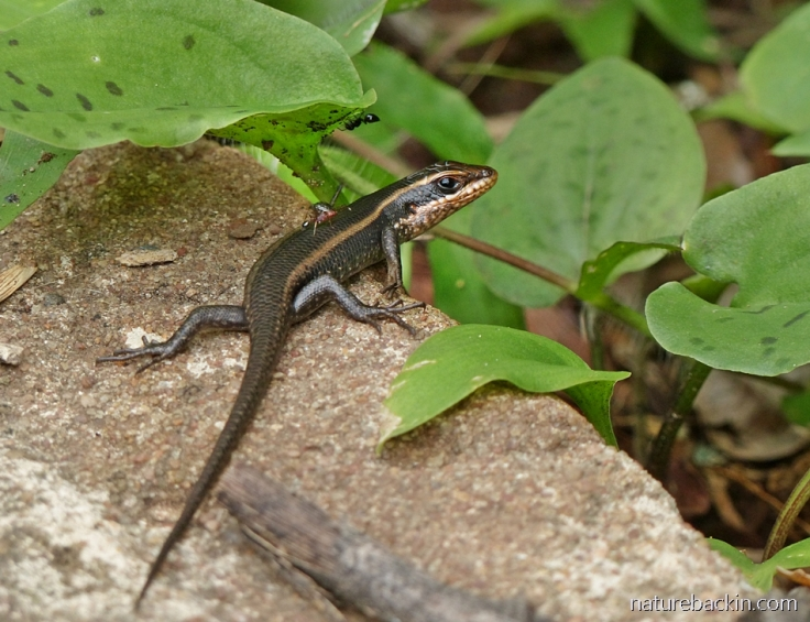 A young striped skink with ants on garden path