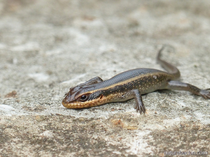 A young striped skink on a garden path in a suburban garden