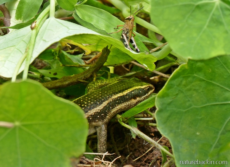 Striped skink near a grasshopper while hunting in a garden