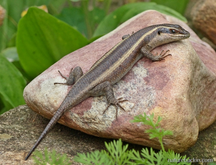 A striped skink basking on a rock in a garden, South Africa