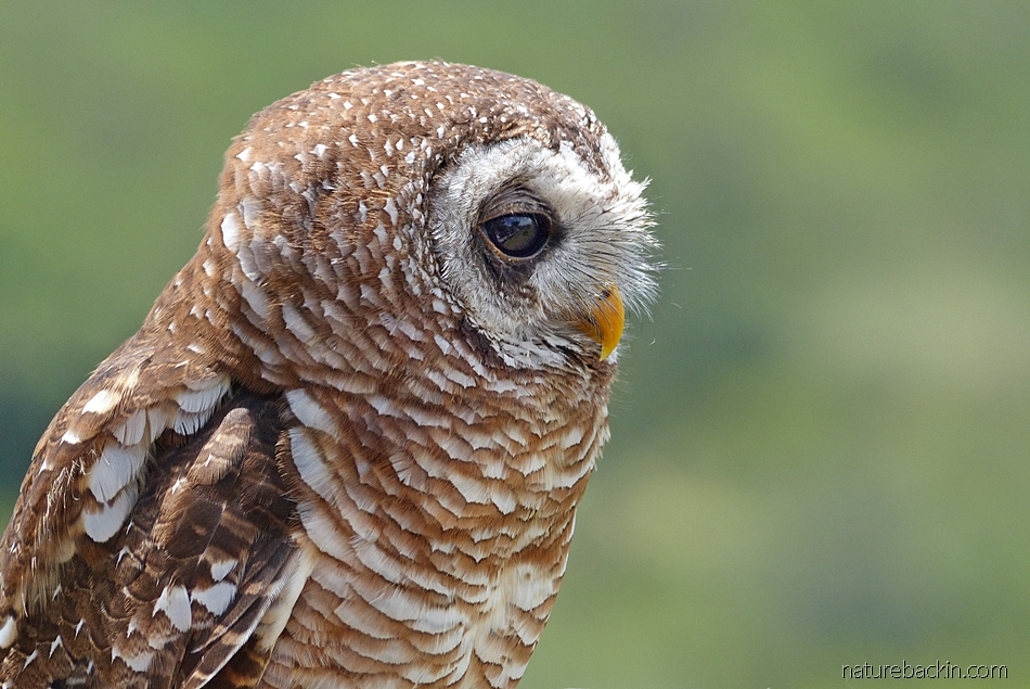 Portrait of an African wood owl, South Africa