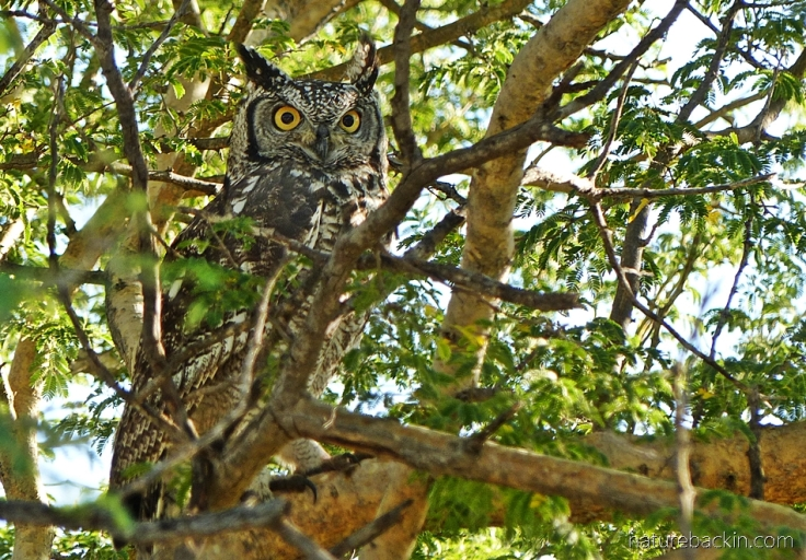 Cape eagle owl perched in a tree, early morning, Central Kalahari Game Reserve, Botswana