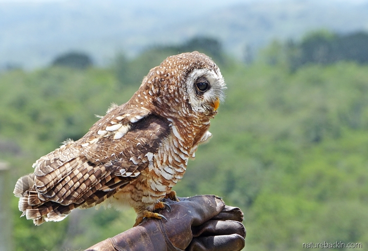 African wood owl perched on the glove of its handler at a display at the African Raptor Centre, KwaZulu-Natal, South Africa