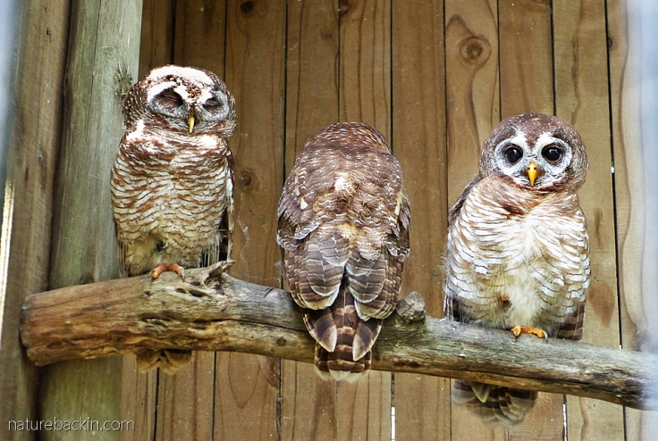 Three rescued African wood owls in their enclosure at the African Raptor Centre, South Africa