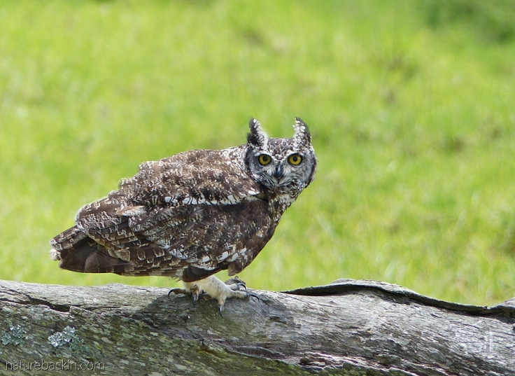 Spotted eagle-owl, South Africa