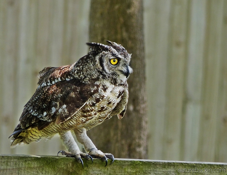 Spotted eagle owl in its enclosure at a rescue and rehabilitation centre, South Africa