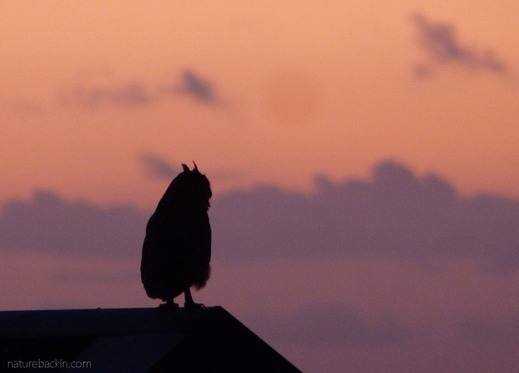Spotted eagle owl at sunset on a roof in a seaside town, Western Cape, South Africa