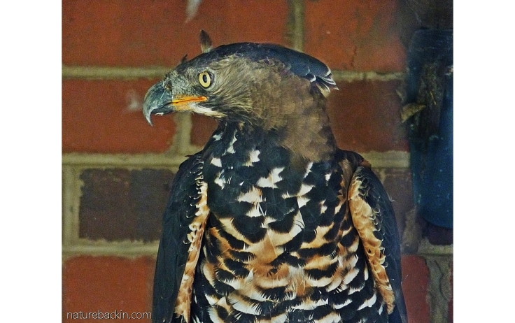 Portrait of a captive crowned eagle, South Africa