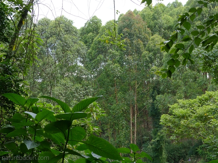 Eucalyptus plantation viewed from a suburban garden, KwaZulu-Natal, South Africa