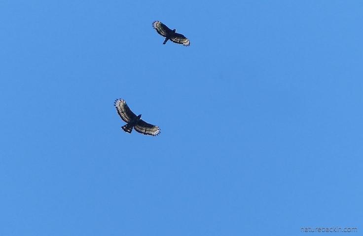 A pair of crowned eagles in flight display