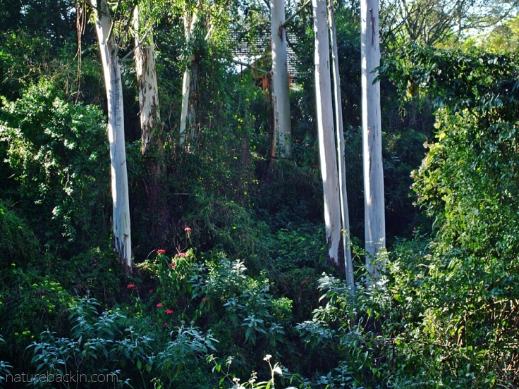 Mature eucalyptus trees on the margins of a plantation in a suburban in KwaZulu-Natal, South Africa
