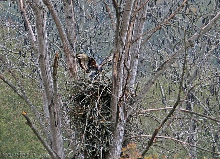 Crowned-eagle 7