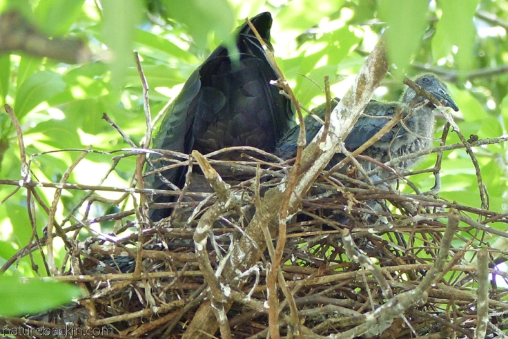 A hadeda ibis and fledgling on nest