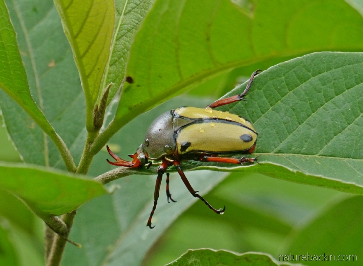 Sleeping beetle, possibly a large flower chafer beetle, South Africa