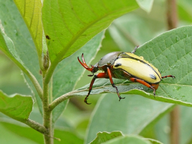 Flower beetle with orange y-shaped horn and yellow hind-wings with two black dots on each wing