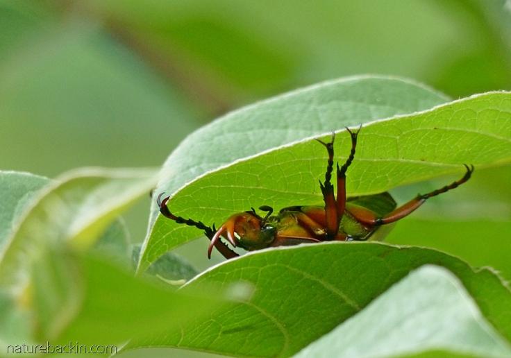 Horned flower beetle hanging upside-down under a leaf, South Africa