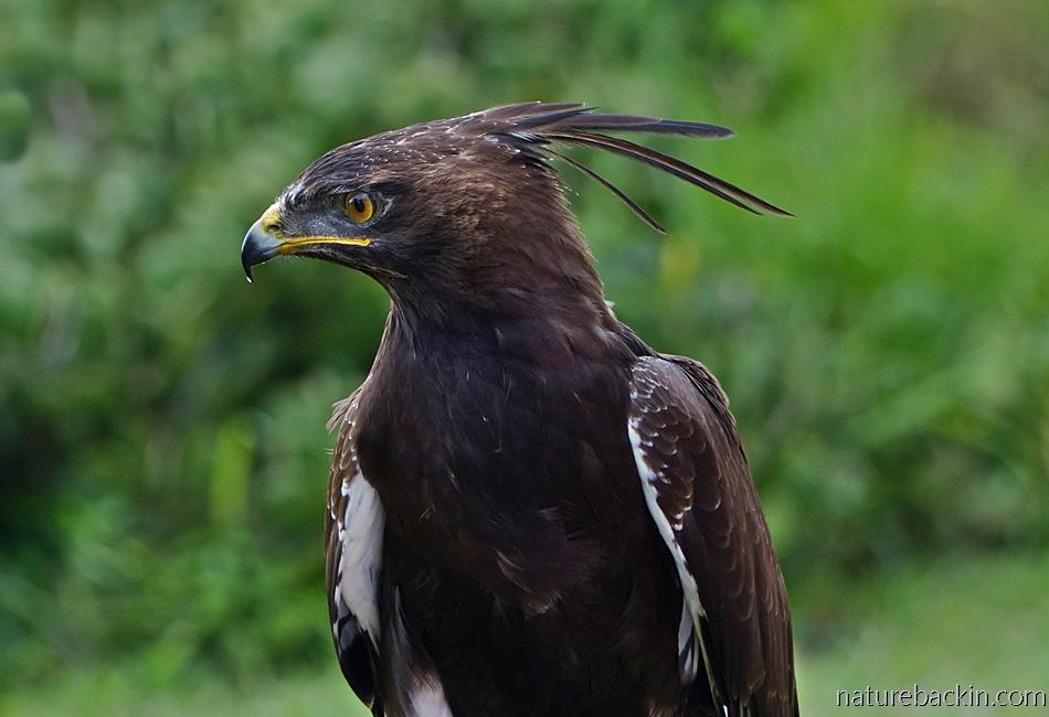 Urban raptors South Africa, portrait of a long-crested eagle