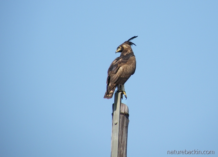 Perching on a pole, a long-crested eagle scans for prey