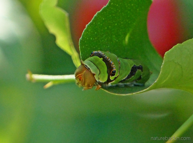 Citrus swallowtail caterpillar eating a citrus leaf