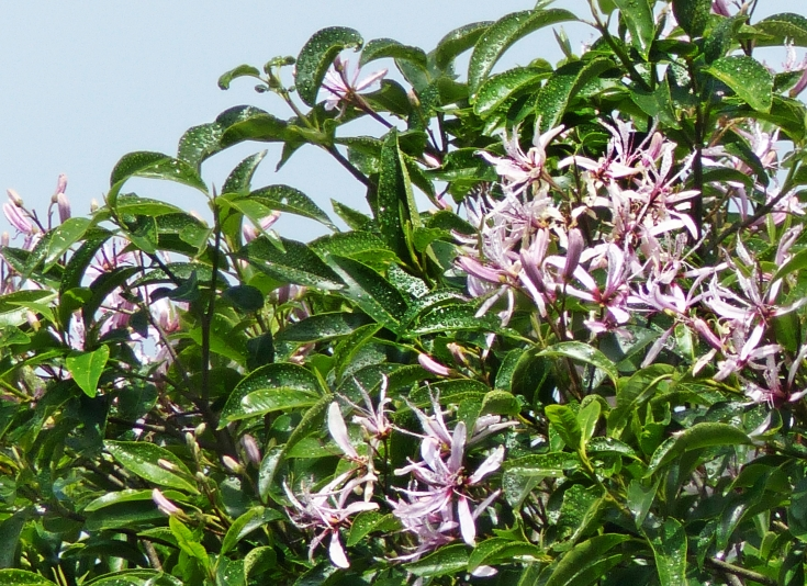 Cape chestnut (Calodendrum capense) flowers