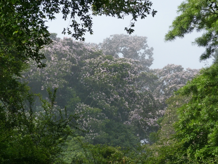 Cape chestnut trees flowering on a misty morning in mistbelt forest, KwaZulu-Natal