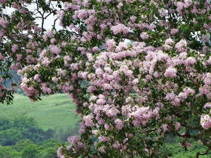 Pink flowering Cape chestnut in KwaZulu-Natal, South Africa
