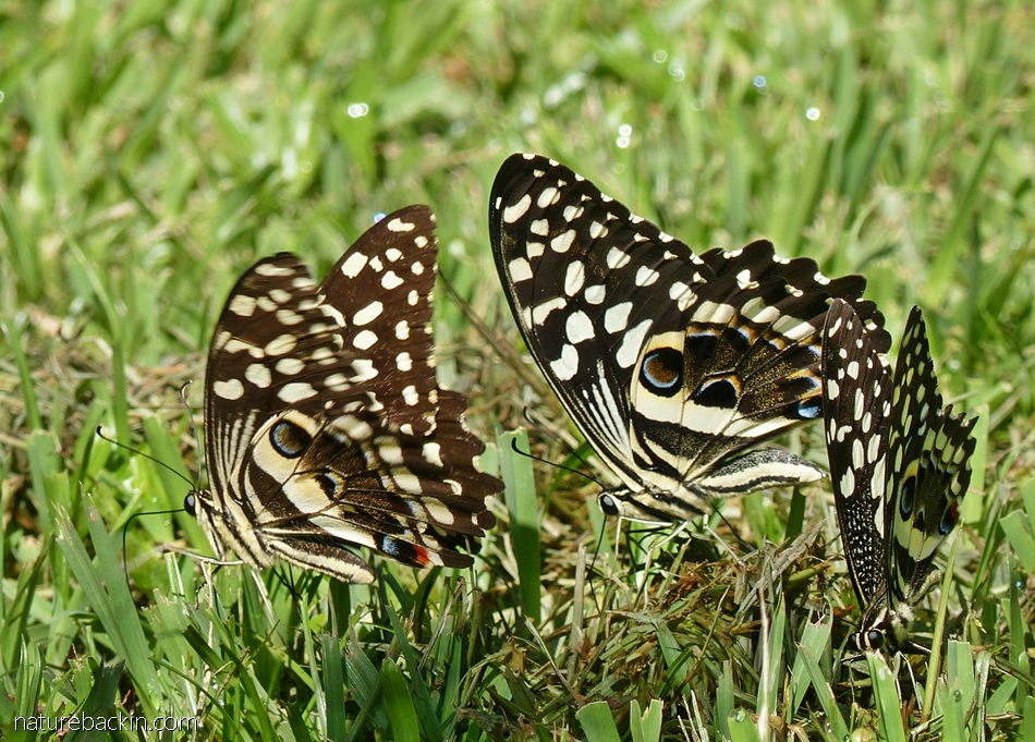 Small group of citrus swallowtail butterflies, South Africa