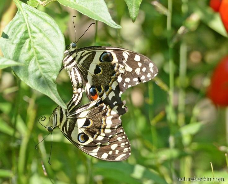 Mating pair of citrus swallowtail butterflies in a garden, KwaZulu-Natal