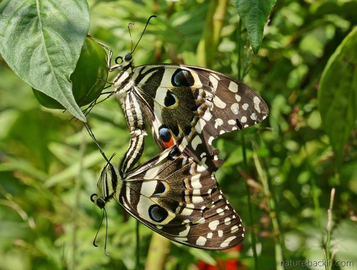 Citrus-swallowtail-butterflies 11