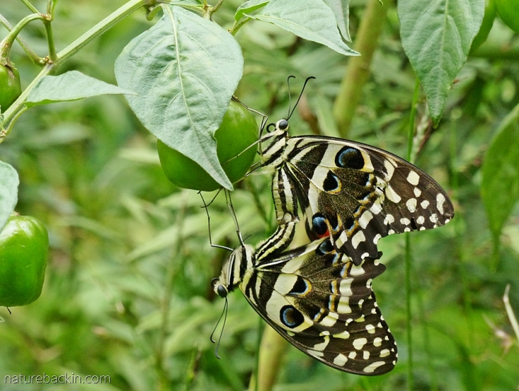 Citrus-swallowtail-butterflies 11a