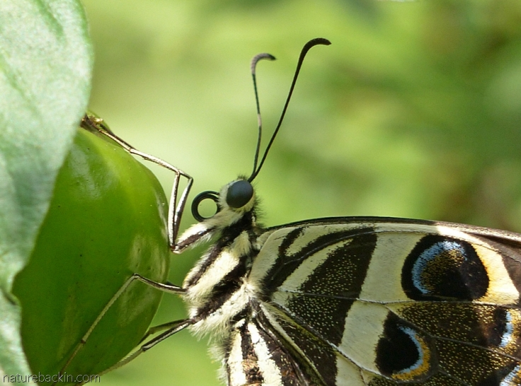 Citrus-swallowtail-butterfly 12