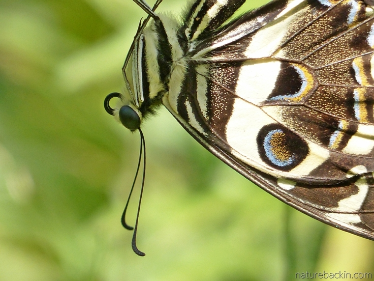 Close-up of citrus swallowtail butterfly