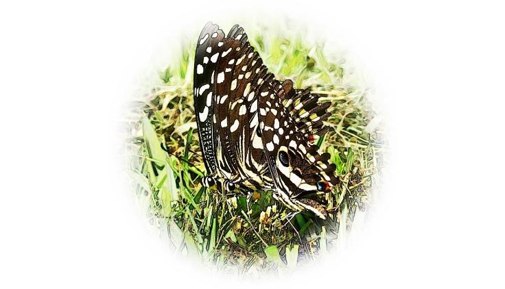 Citrus-swallowtail-butterflies 15