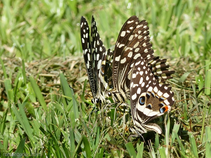 Small group of citrus swallowtail butterflies on lawn