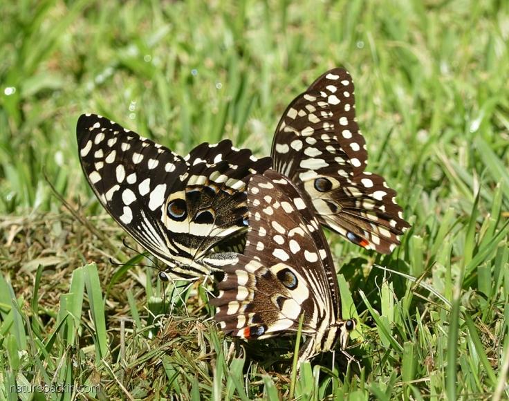 Three citrus swallowtail butterflies, South Africa