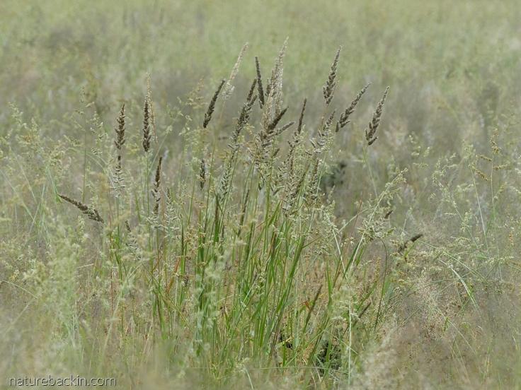 Wild grasses at Mabuasehube, Botswana