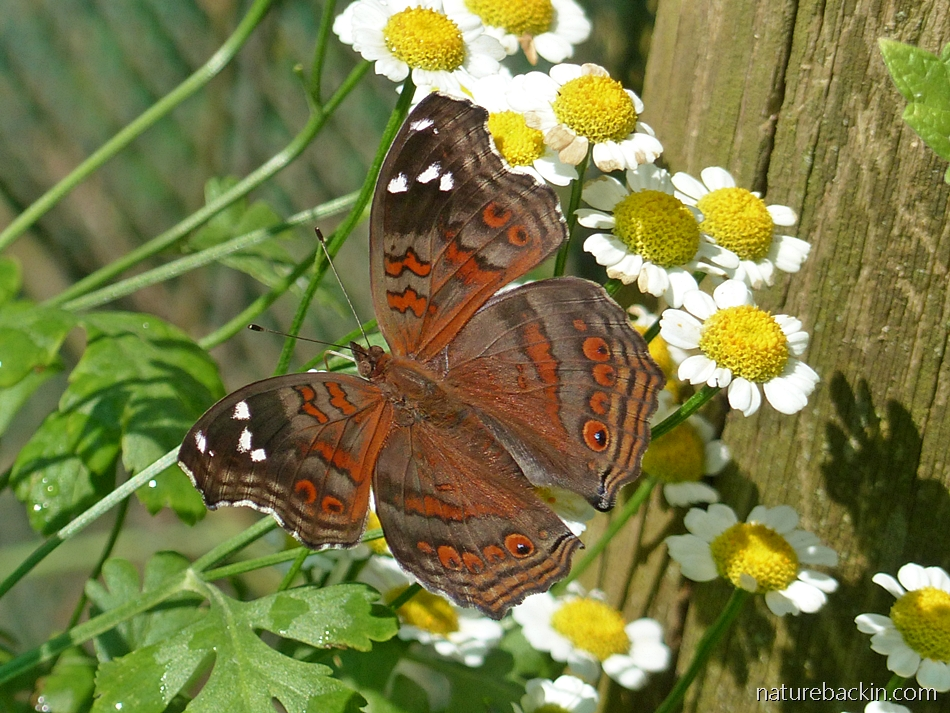 Brown commodore butterfly with feverfew flowers in a herb garden in South Africa