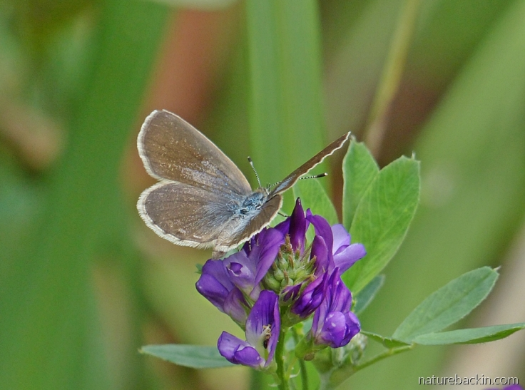 African grass blue butterfly visiting a lucerne flower in South Africa